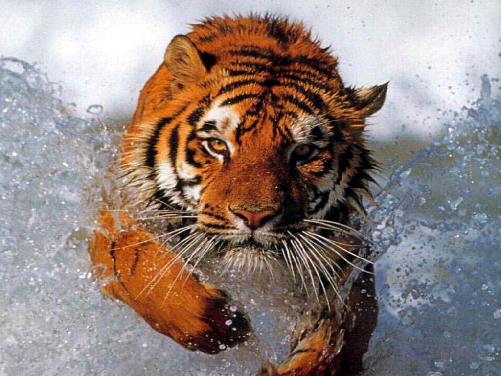 What is the best fitness regimen for a tiger (or a tigress)?